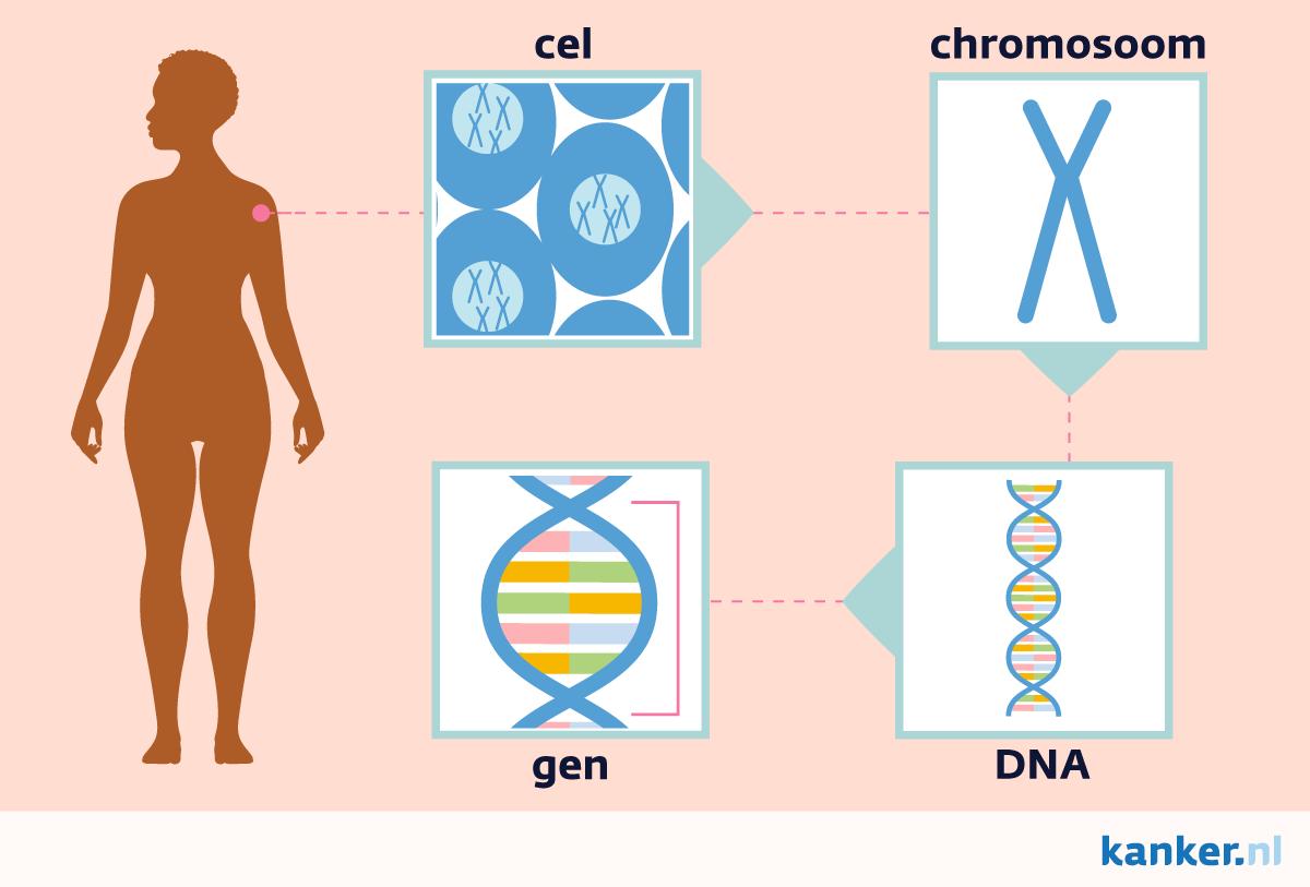 DNA en mutaties. Van lichaam tot cel, chromosoom, genen en dna.